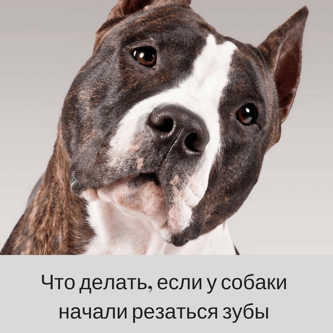 Что делать, если у собаки режутся зубы