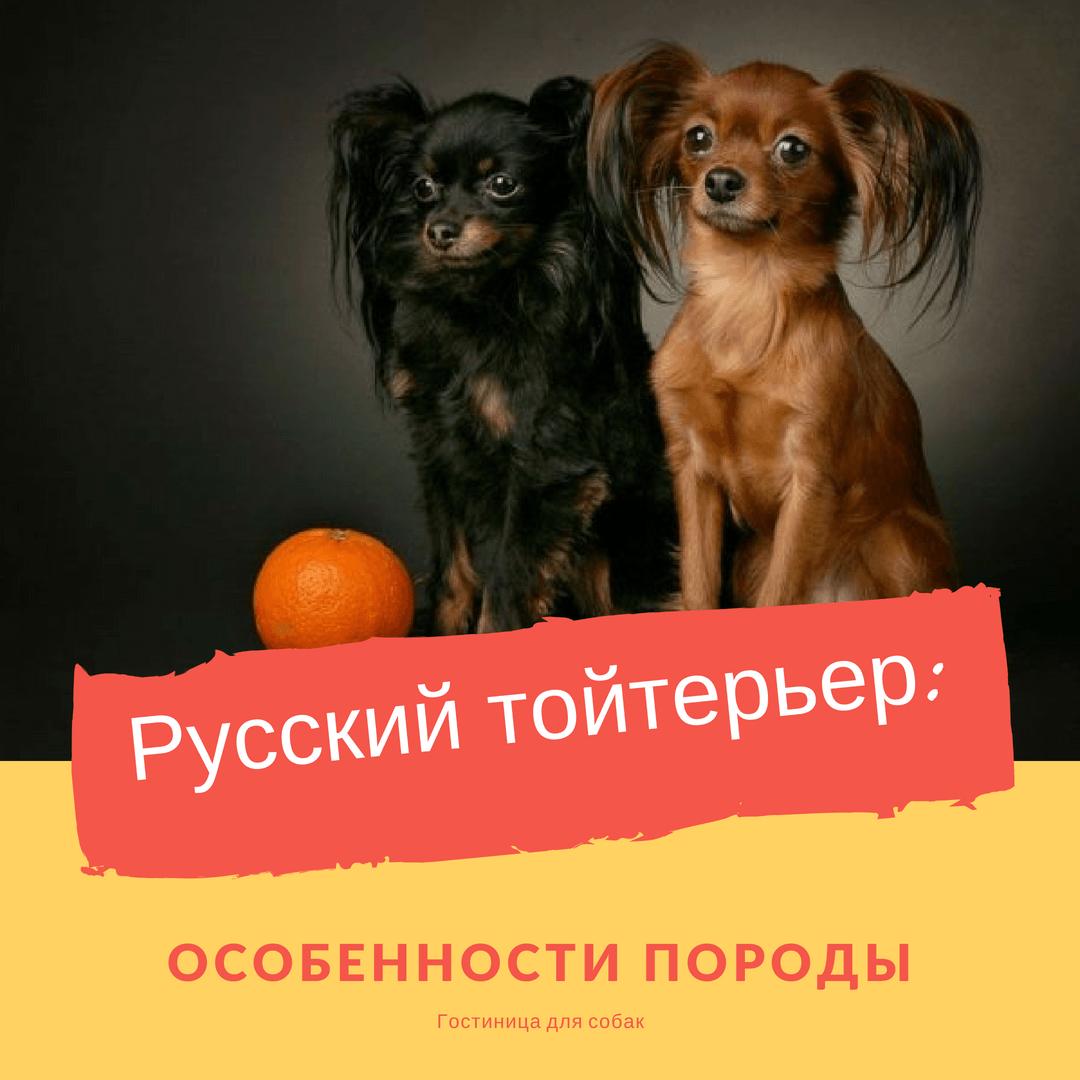 Русский тойтерьер: описание породы, особенности