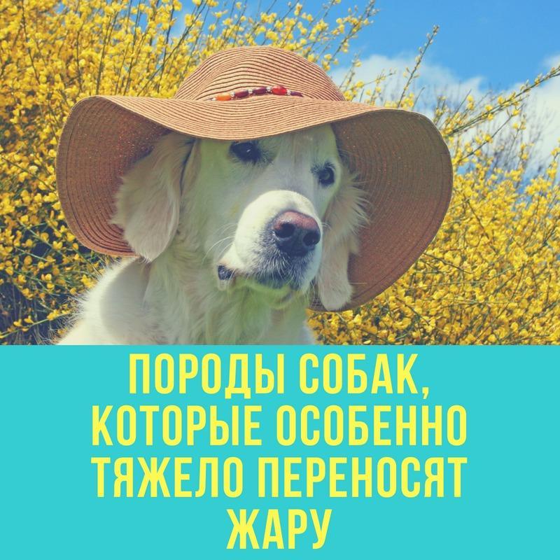 Породы собак, которые особенно тяжело переносят жару