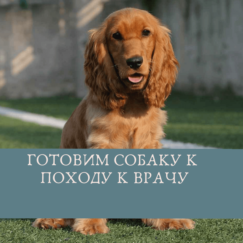 Готовим собаку к походу к врачу