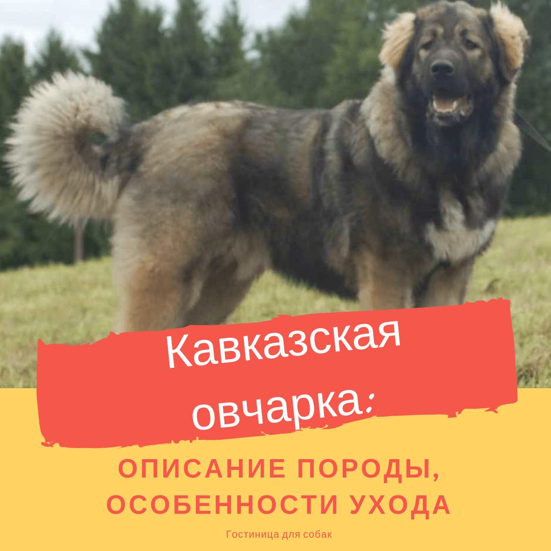 Кавказская овчарка: описание породы, особенности ухода