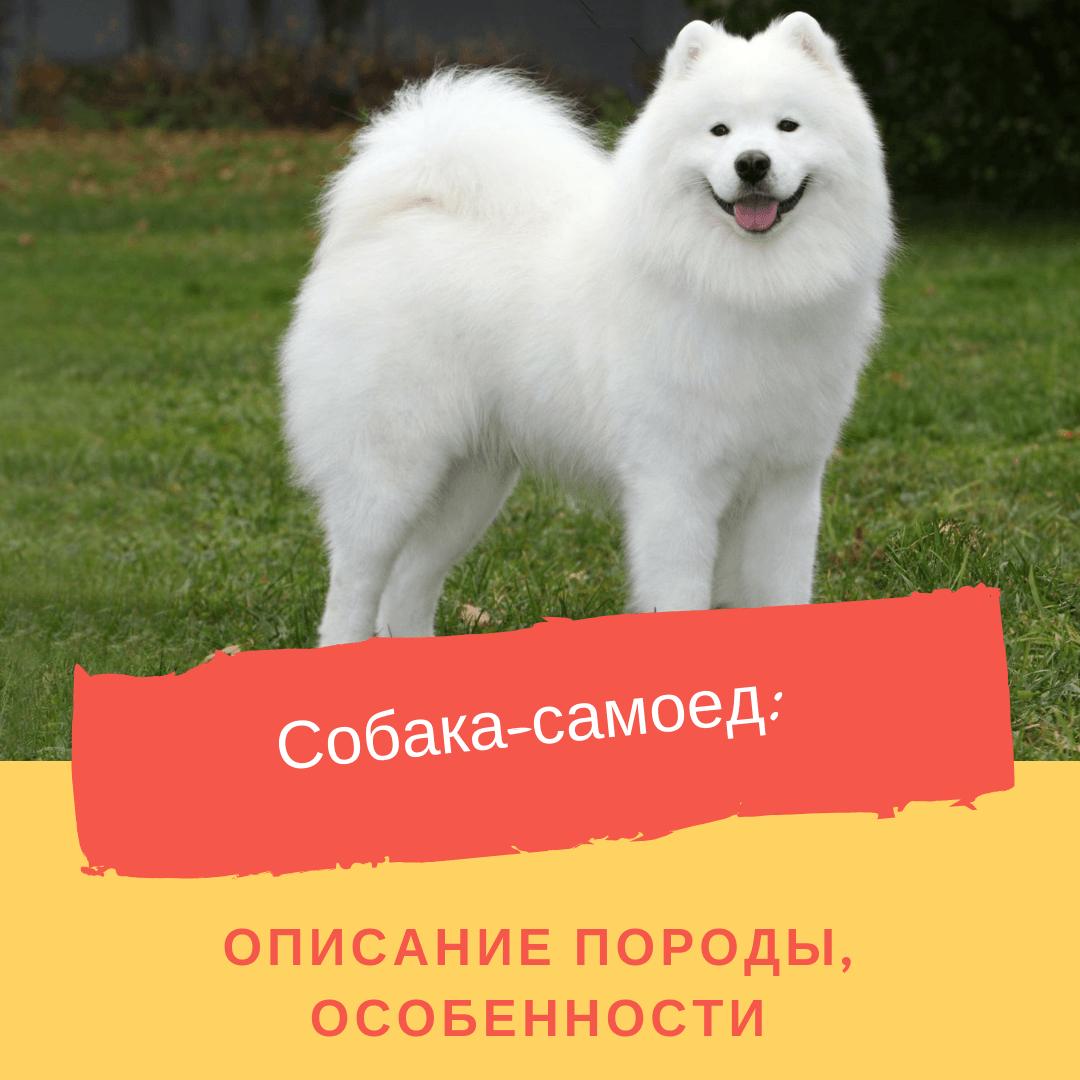 Собака-самоед: описание породы, особенности