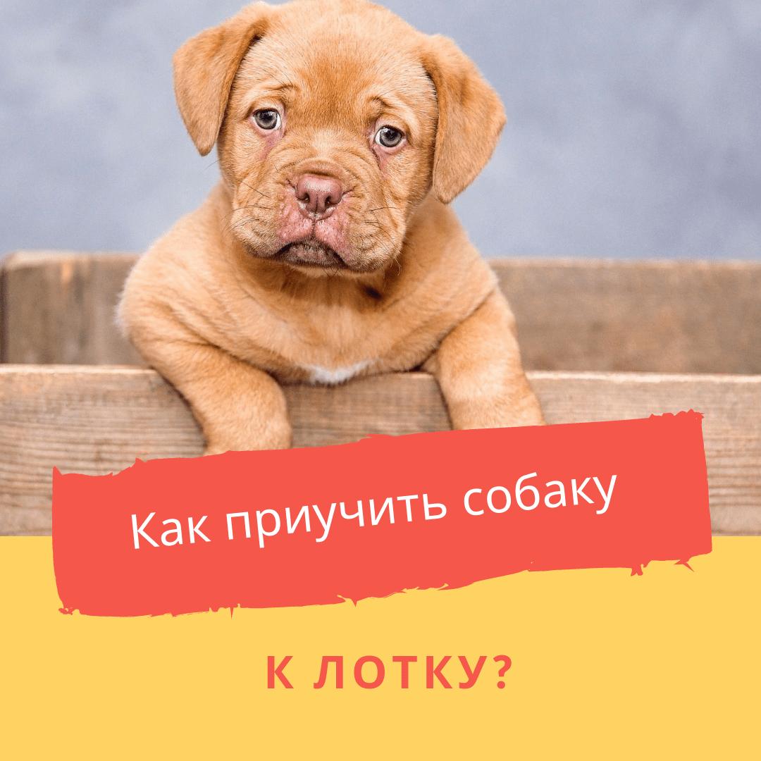 Как приучить собаку к лотку?