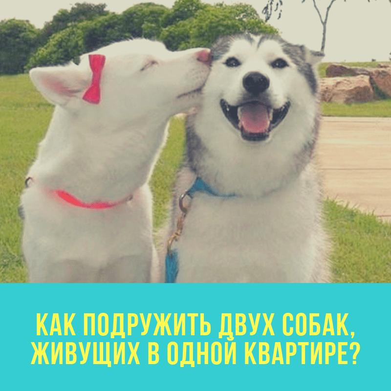 Как подружить двух собак, живущих в одной квартире?