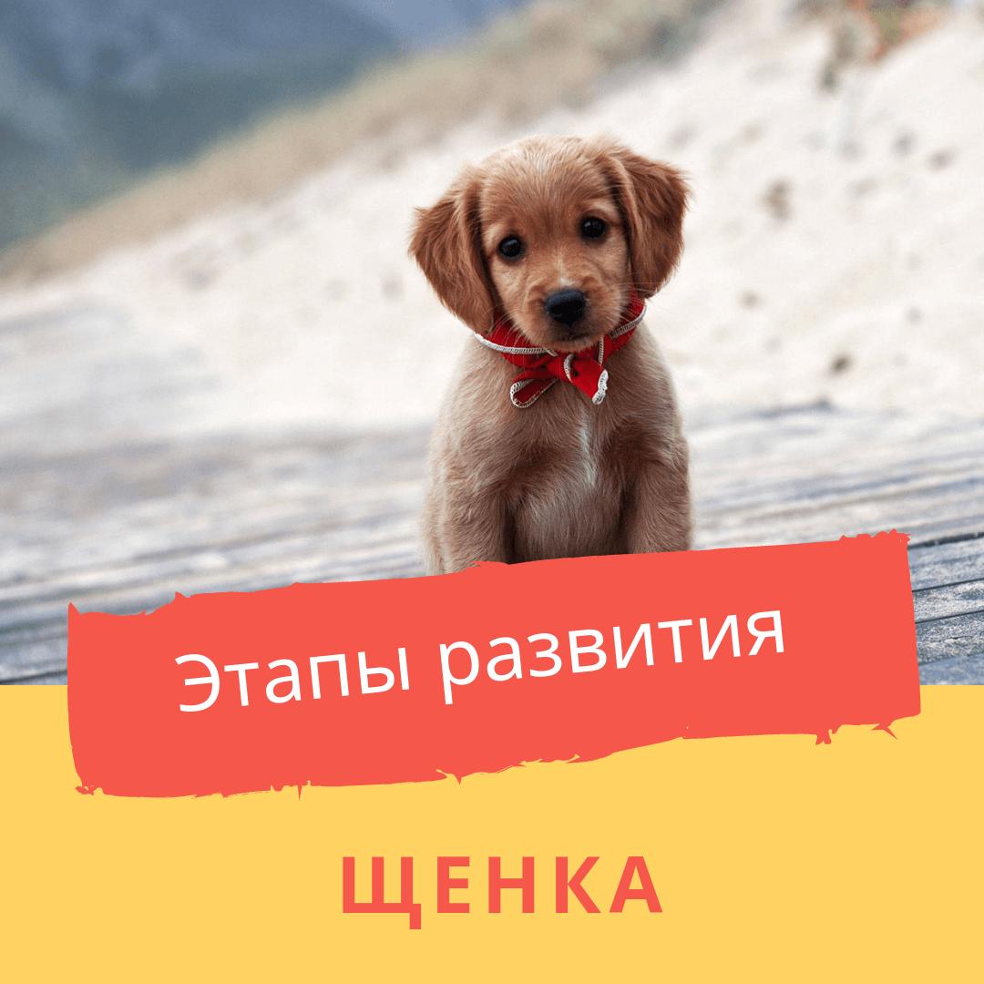 Этапы развития щенка