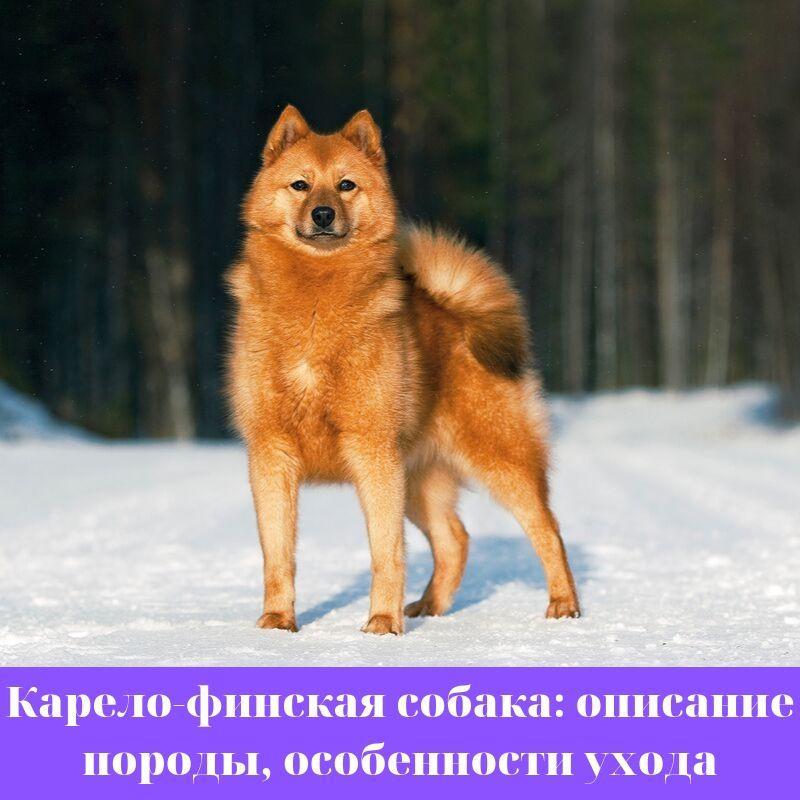 Карело-финская собака: описание породы, особенности ухода